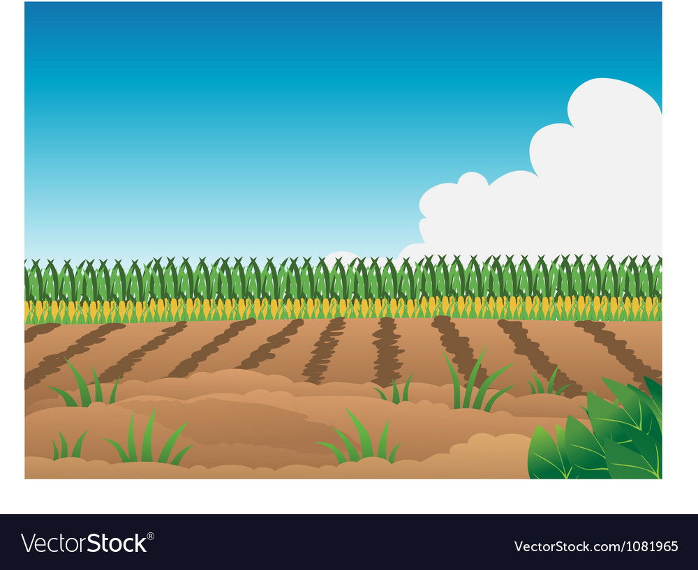 Crop field corn vector | Price: 1 Credit (USD $1)