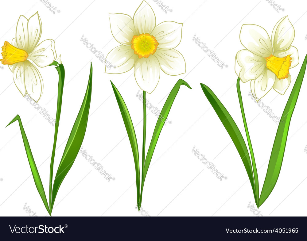 Narcissus vector | Price: 1 Credit (USD $1)