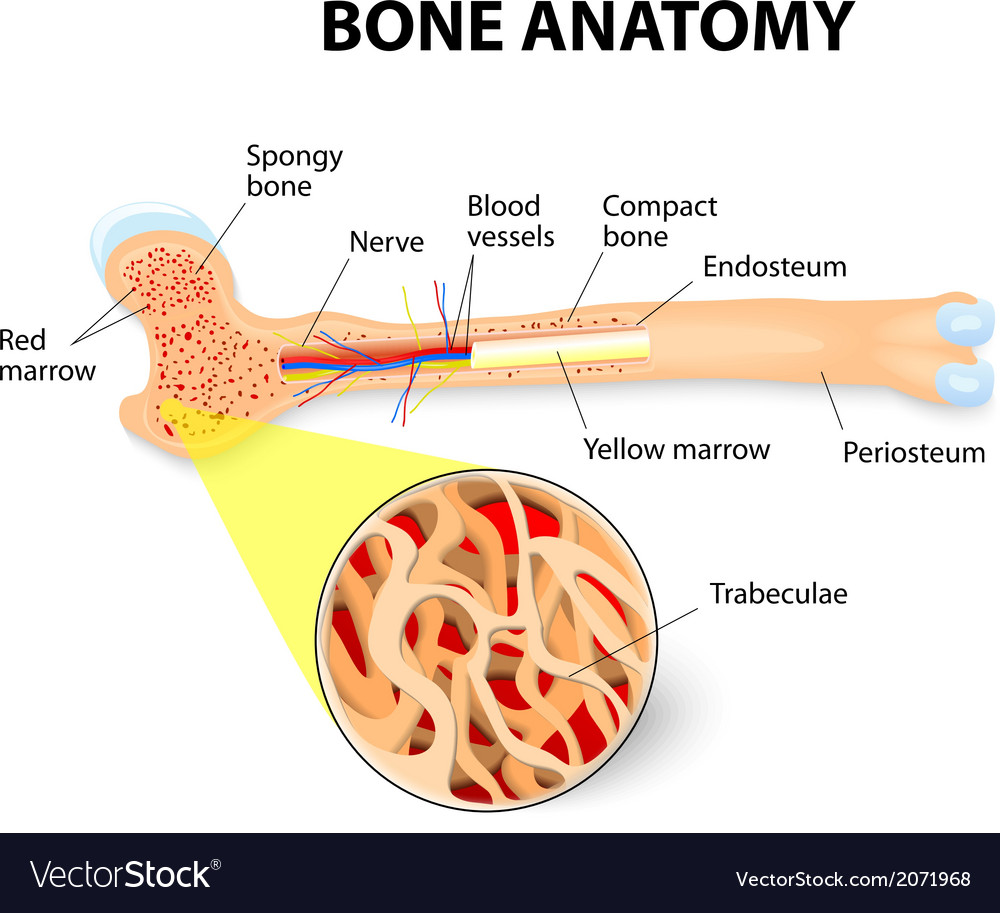 Bone anatomy vector | Price: 1 Credit (USD $1)