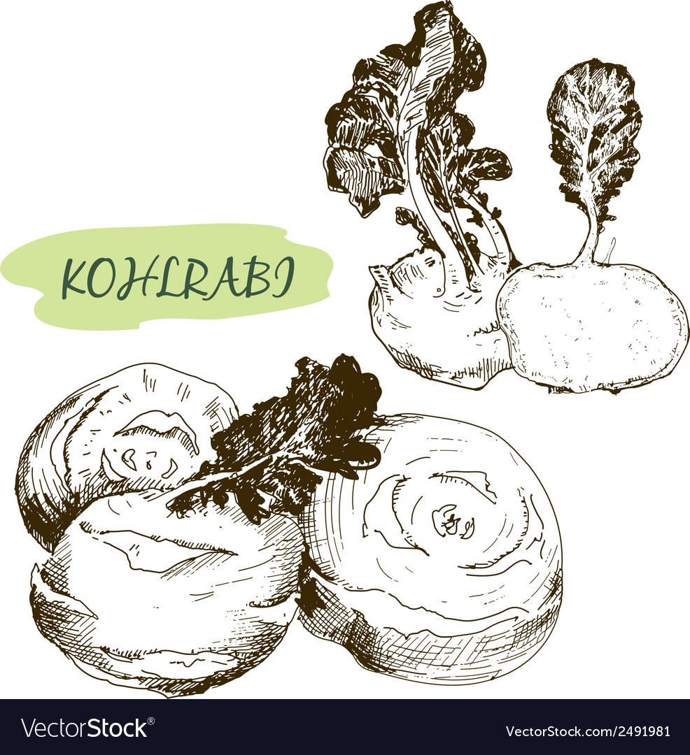 Kohlraby vector | Price: 1 Credit (USD $1)