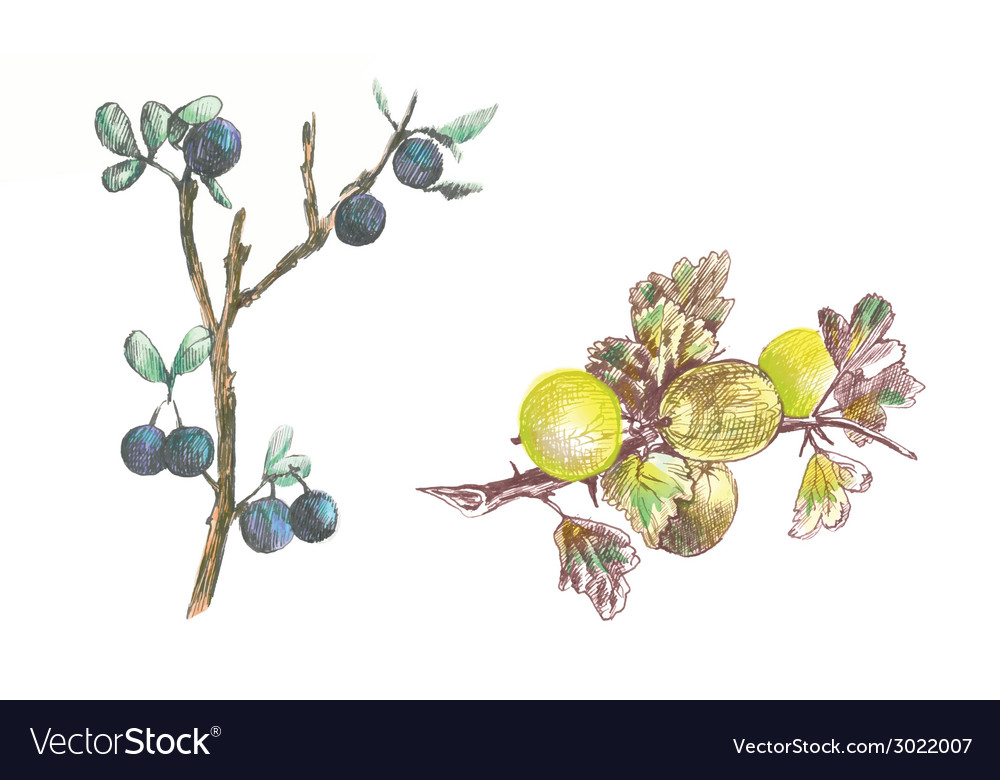 Gooseberry and blackthorn vector | Price: 1 Credit (USD $1)