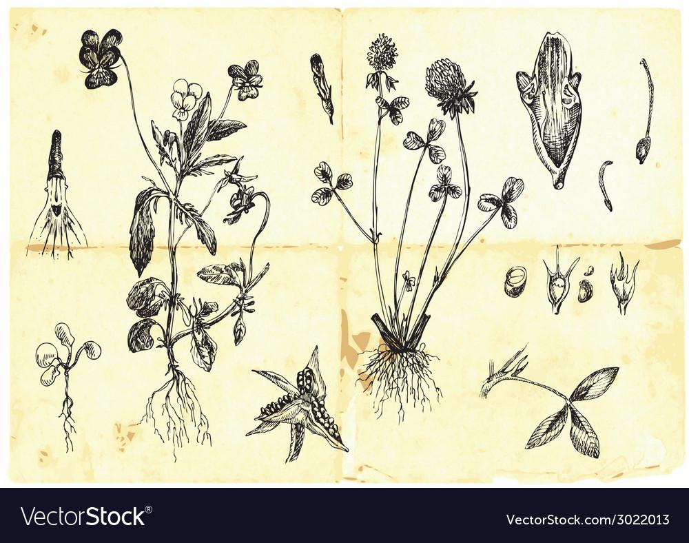 Medical herbs vector | Price: 1 Credit (USD $1)