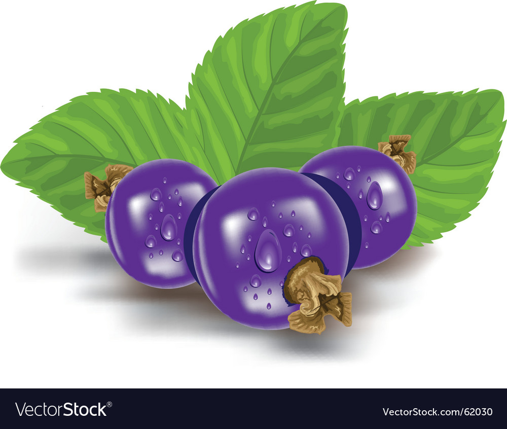Blue berries vector