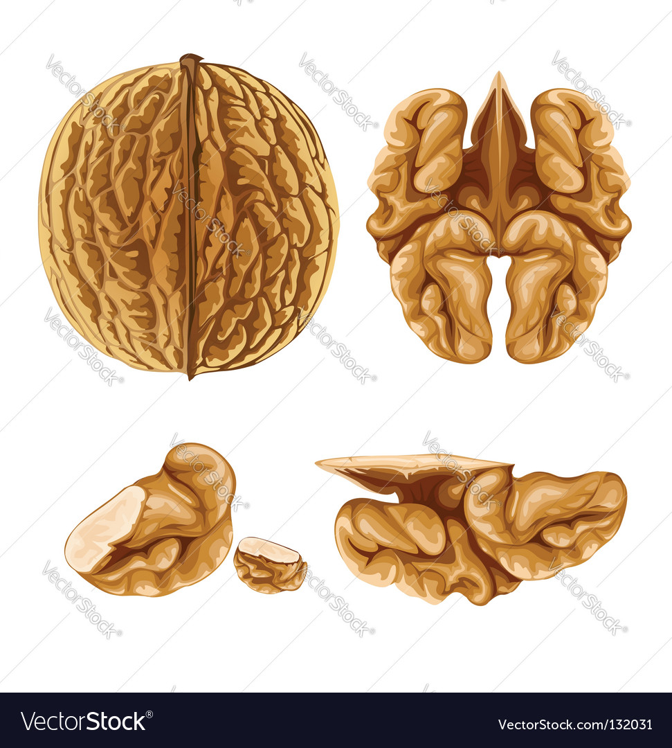 Walnut nut with shell vector | Price: 3 Credit (USD $3)