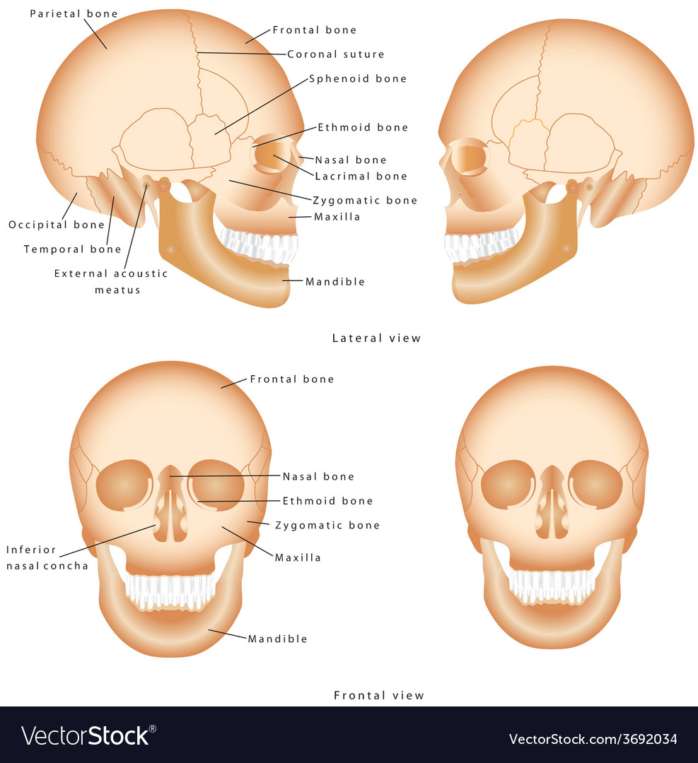 Human skull structure vector | Price: 1 Credit (USD $1)