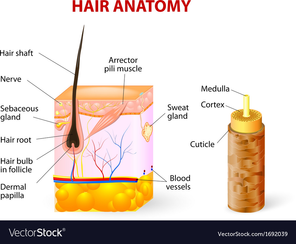 Hair anatomy diagram vector | Price: 1 Credit (USD $1)