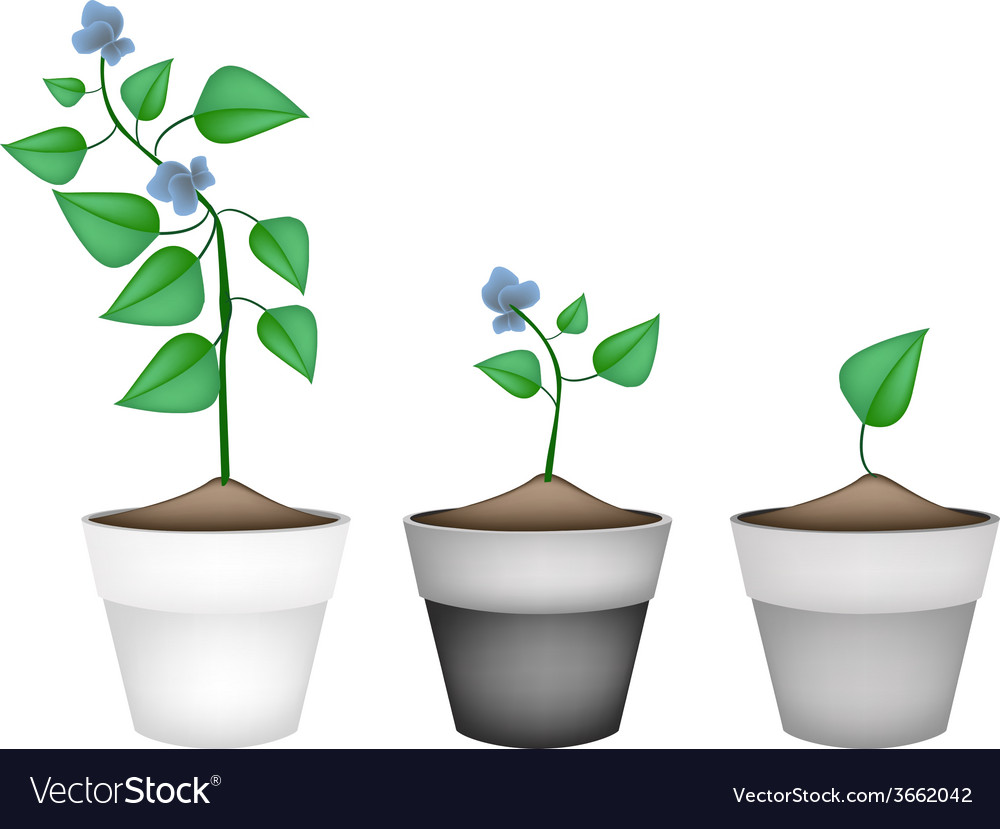 Winged beans plants in ceramic flower pots vector | Price: 1 Credit (USD $1)