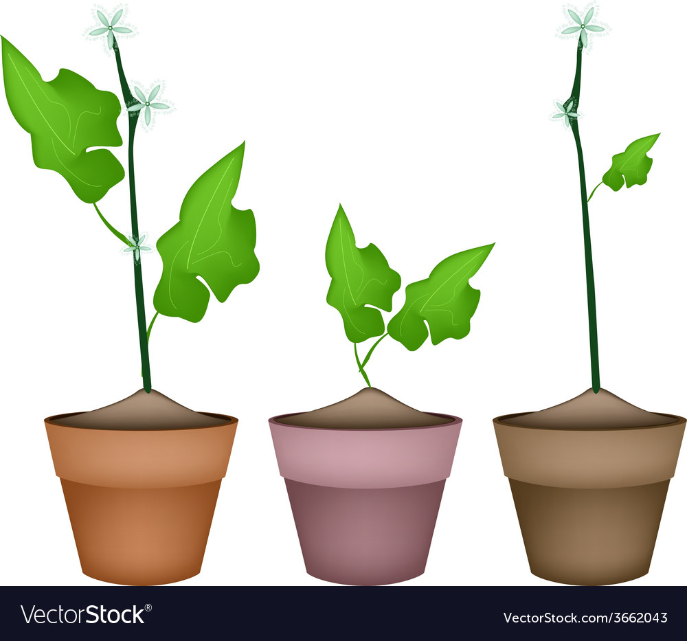 Three ivy gourd plant in ceramic flower pots vector | Price: 1 Credit (USD $1)
