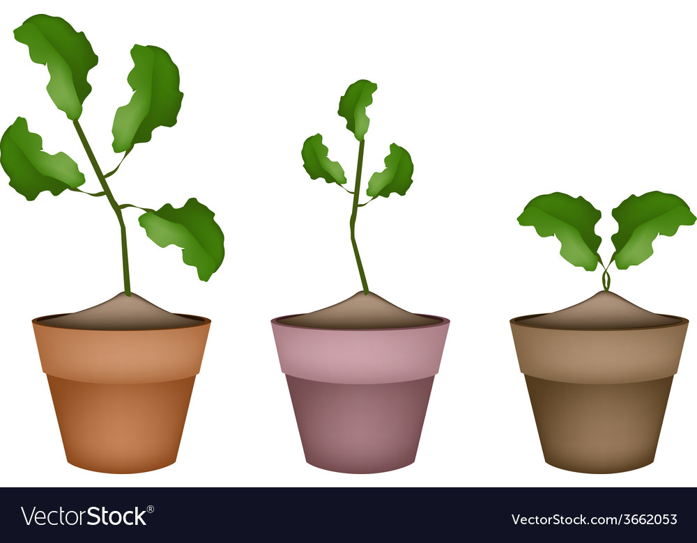 Three fresh limes in ceramic flower pots vector | Price: 1 Credit (USD $1)