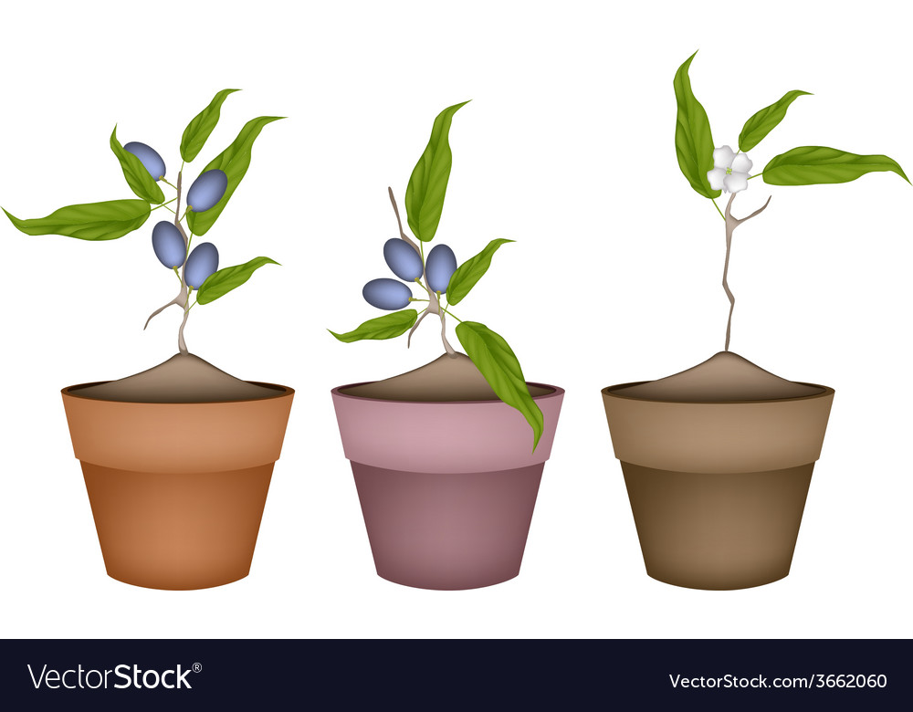 Olive grove plants in ceramic flower pots vector | Price: 1 Credit (USD $1)