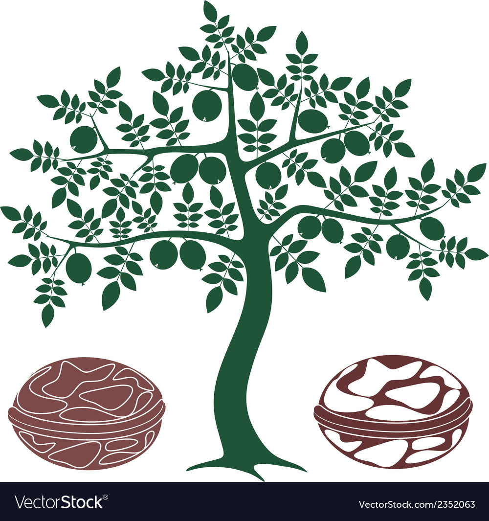 Walnut tree vector | Price: 1 Credit (USD $1)