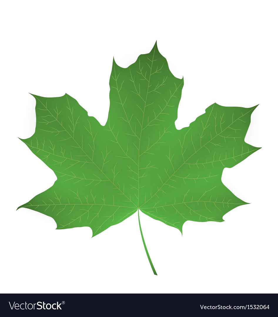 Maple leaf isolated on white vector | Price: 1 Credit (USD $1)