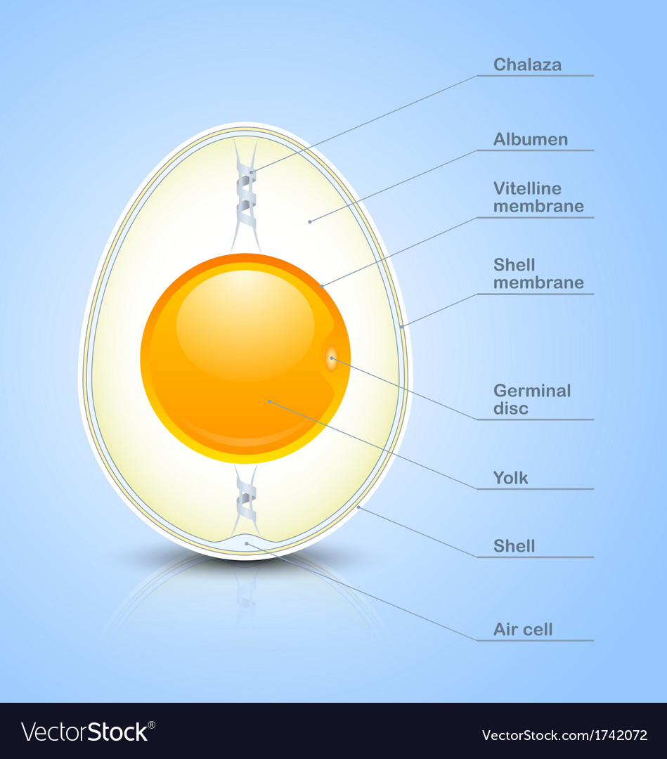 Egg cross section icon vector | Price: 1 Credit (USD $1)