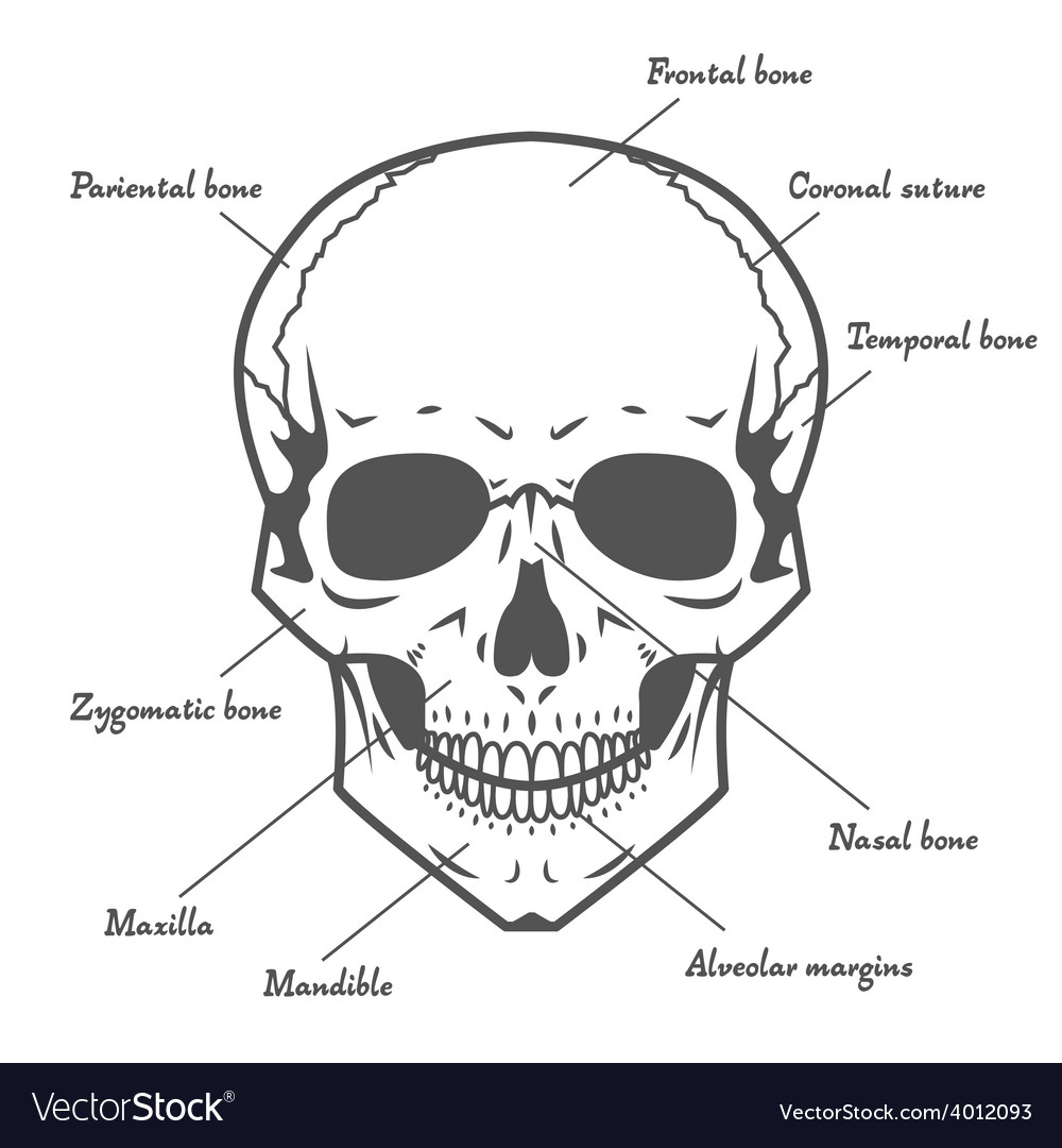 Skull anatomy at white background vector | Price: 1 Credit (USD $1)