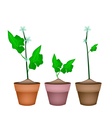 Three ivy gourd plant in ceramic flower pots vector
