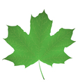 Maple leaf isolated on white vector