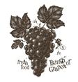 Vine logo design template grapevine or vector