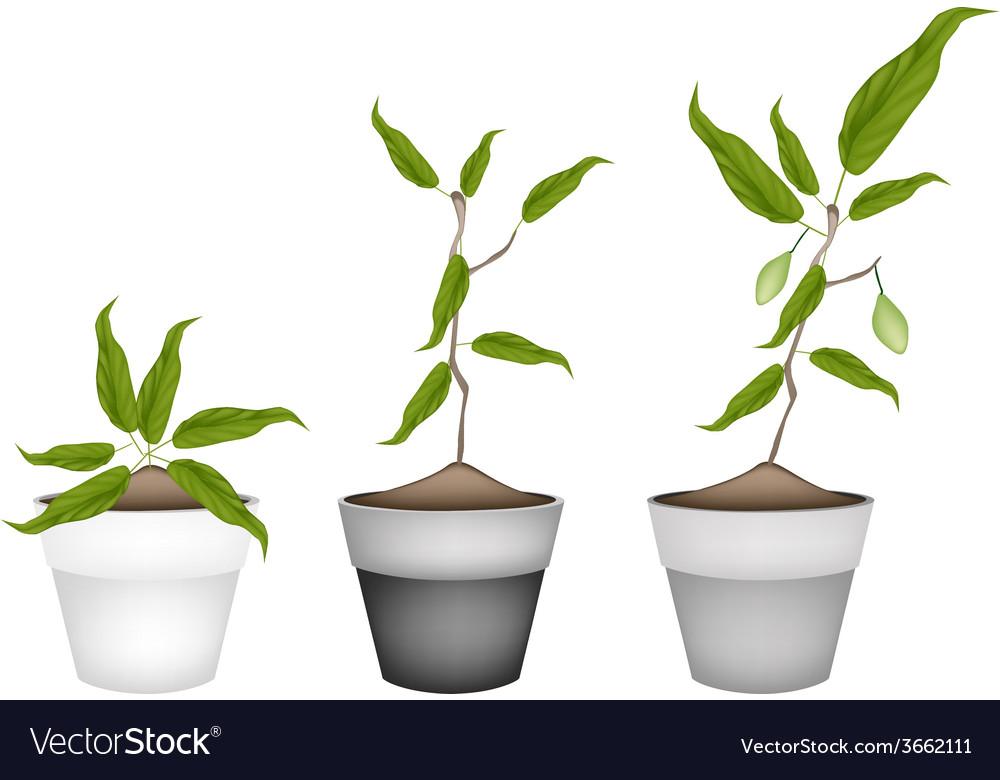 Three chebulic myrobalans in ceramic flower pots vector | Price: 1 Credit (USD $1)