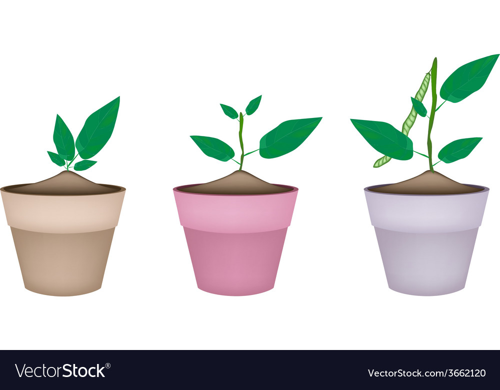 Mung bean plants in ceramic flower pots vector | Price: 1 Credit (USD $1)