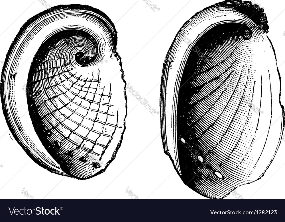 Abalone seashell vector | Price: 1 Credit (USD $1)