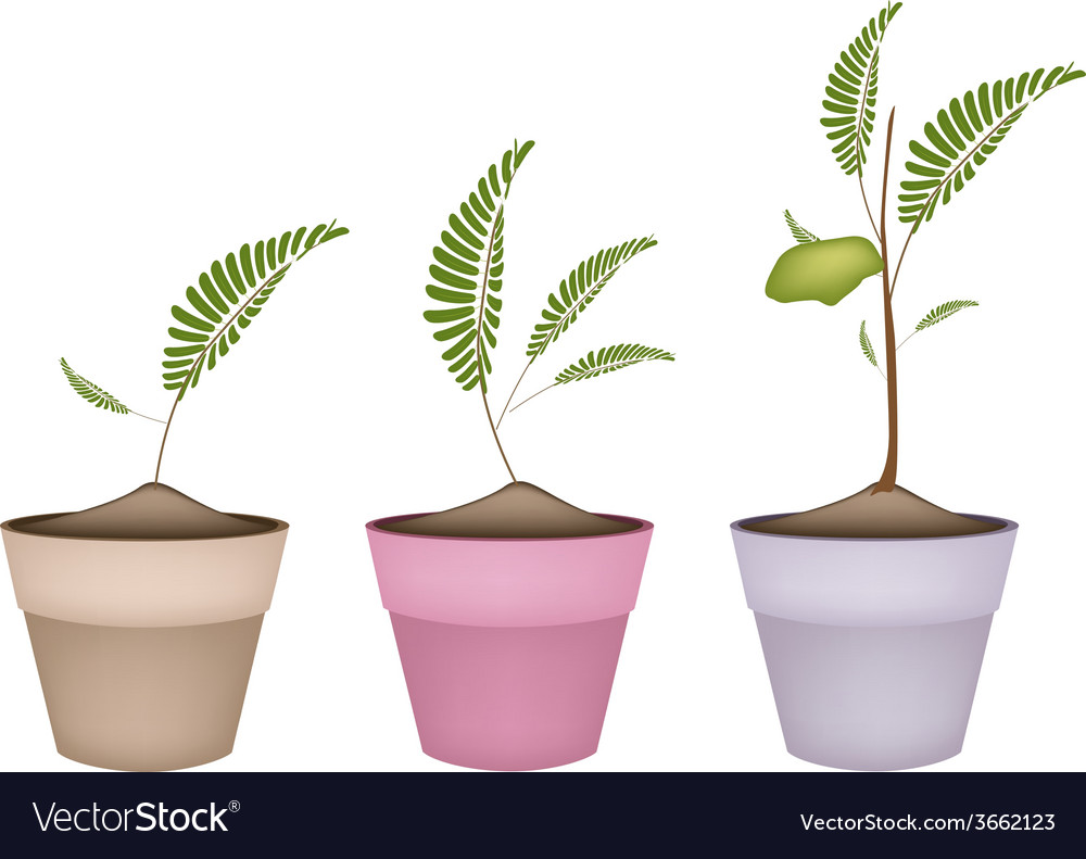 Chick peas plant in ceramic flower pots vector | Price: 1 Credit (USD $1)