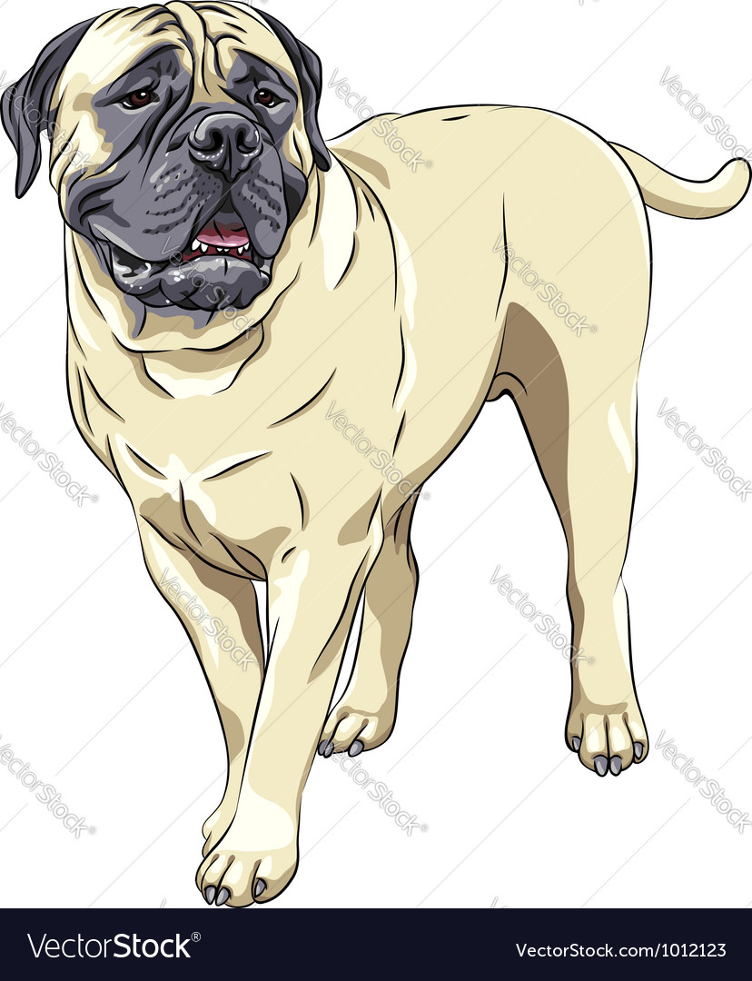 Domestic dog breed bullmastiff stands vector | Price: 3 Credit (USD $3)