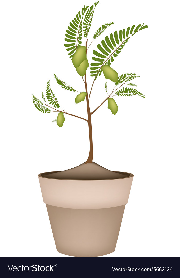 A chick peas plant in ceramic flower pots vector | Price: 1 Credit (USD $1)