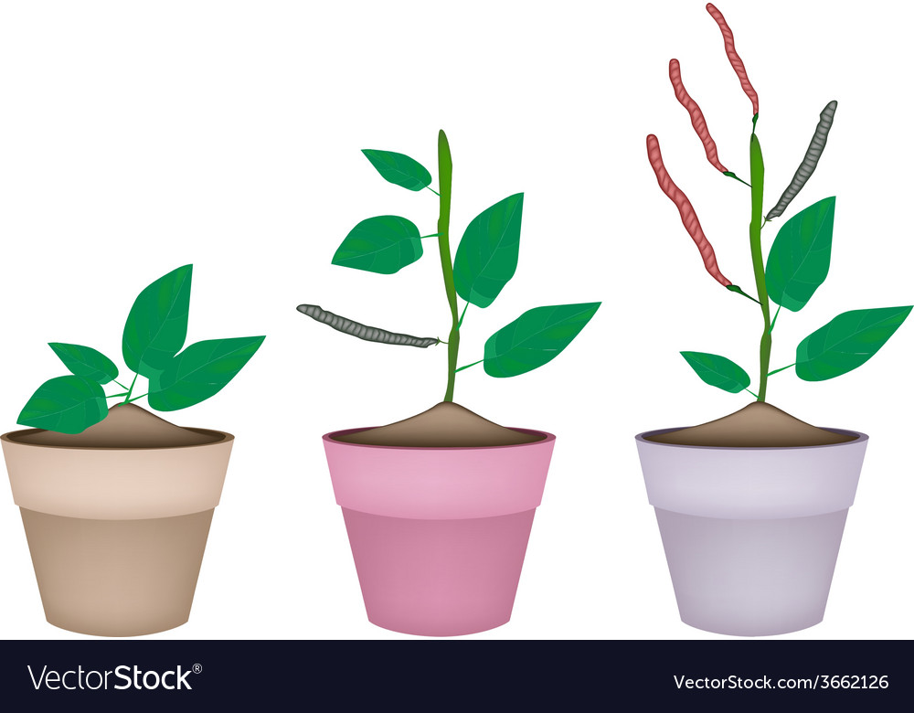 Kidney bean plant in ceramic flower pots vector | Price: 1 Credit (USD $1)