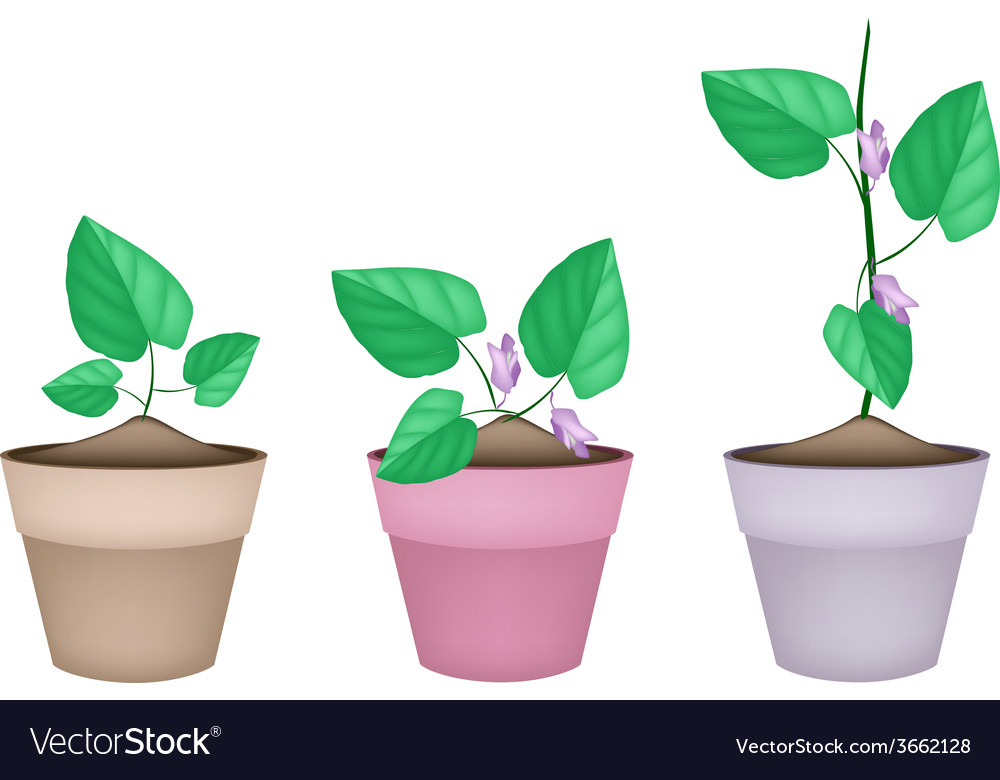 Centrosema pubescens plant in ceramic flower pots vector | Price: 1 Credit (USD $1)