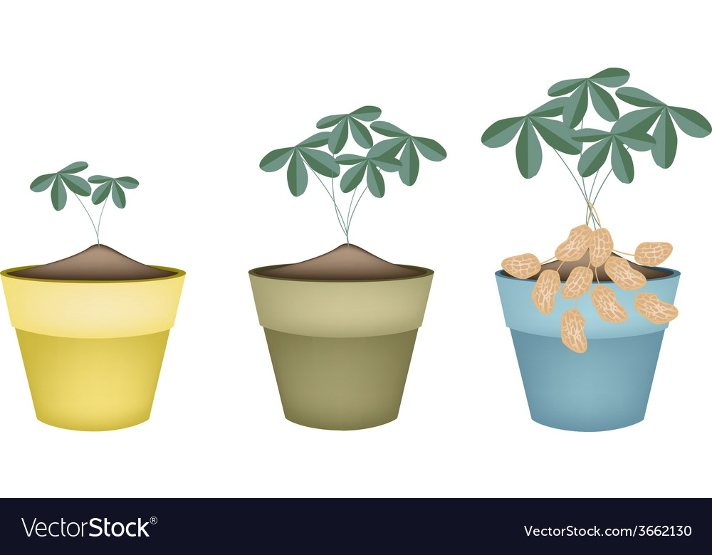 Three peanuts plant in ceramic flower pots vector | Price: 1 Credit (USD $1)