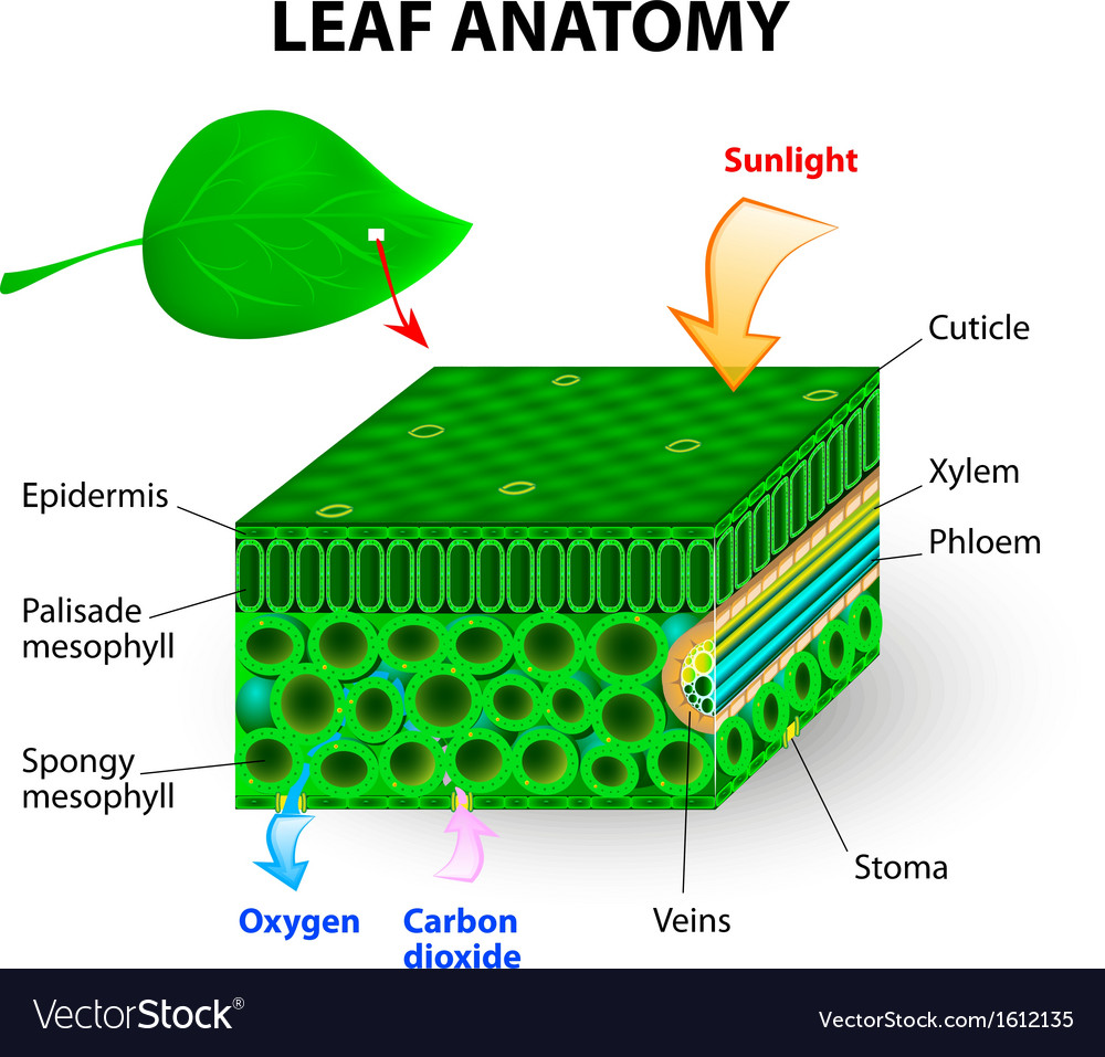 Leaf anatomy vector | Price: 1 Credit (USD $1)