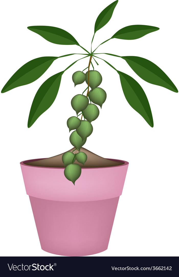Macadamia nuts on branch in ceramic flower pots vector | Price: 1 Credit (USD $1)