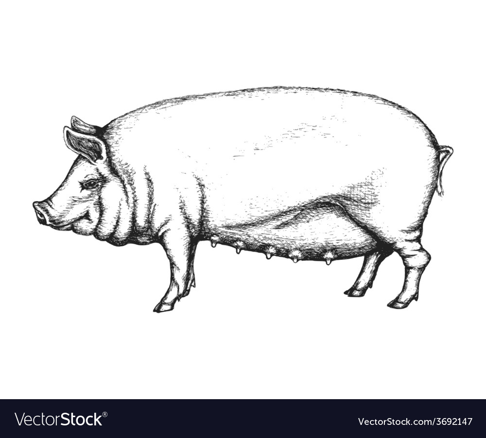 Pig in hand drawn style vector | Price: 1 Credit (USD $1)