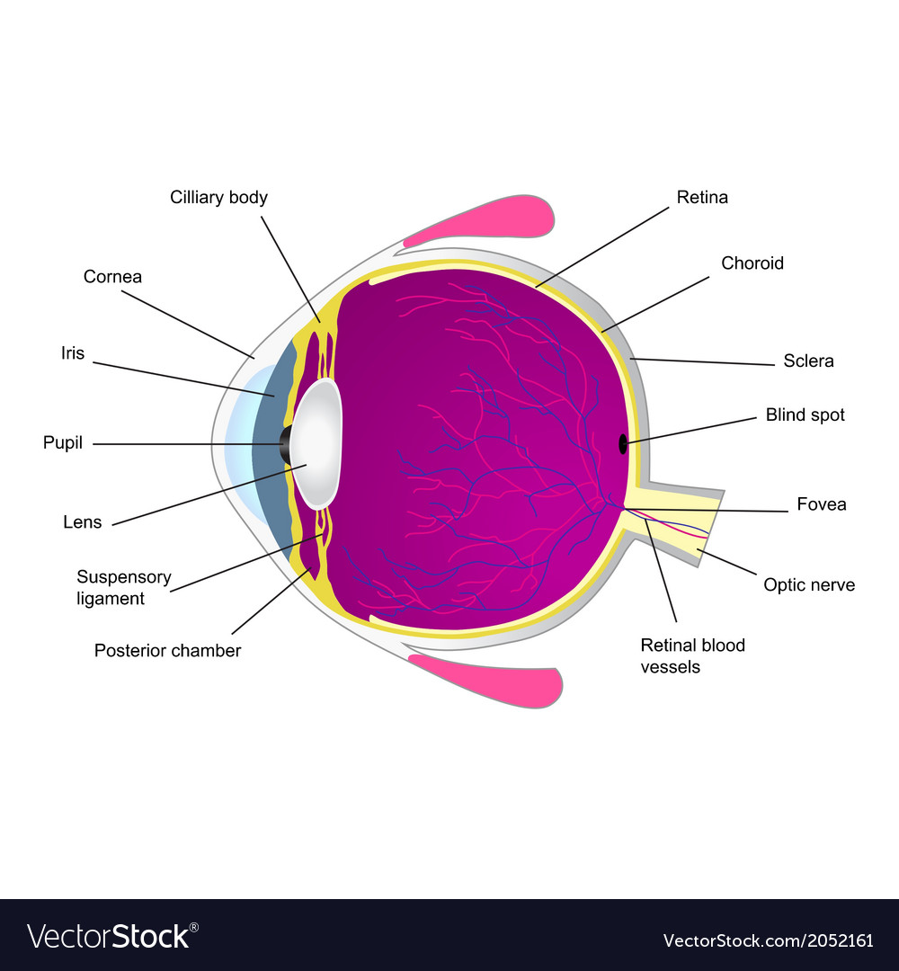 Structure of human eye two vector | Price: 1 Credit (USD $1)
