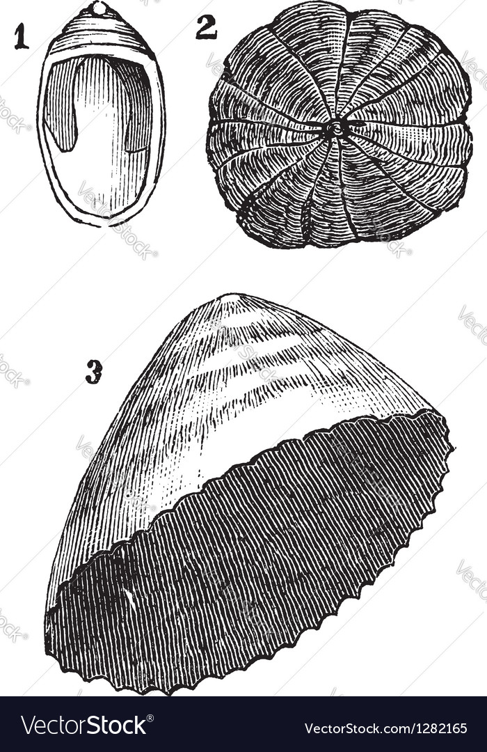 Mollusk vintage engraving vector | Price: 1 Credit (USD $1)