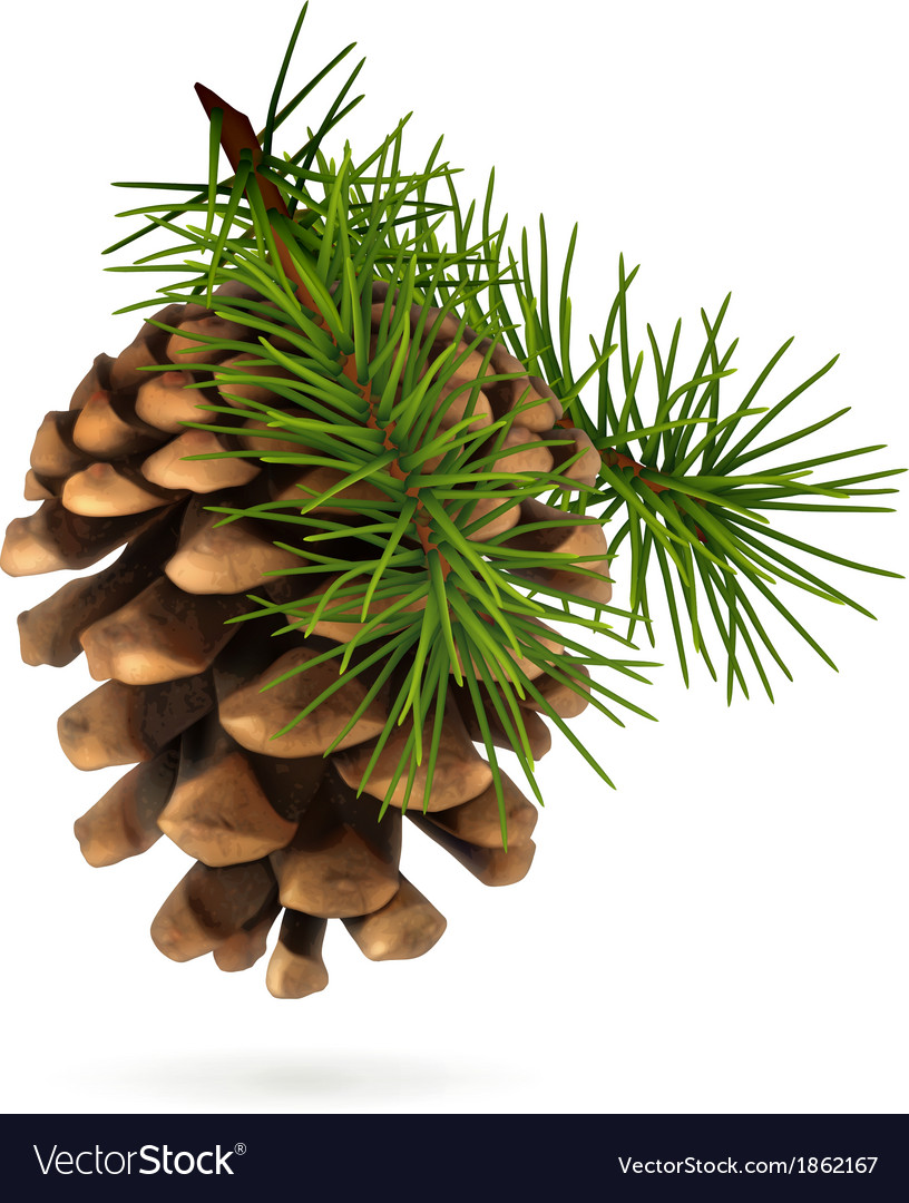 Pine cone vector | Price: 3 Credit (USD $3)