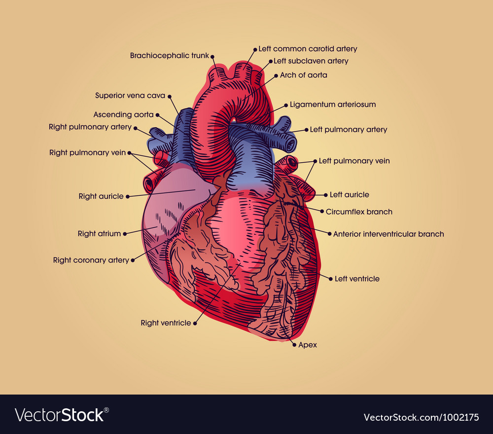 Anatomical heart vector | Price: 1 Credit (USD $1)