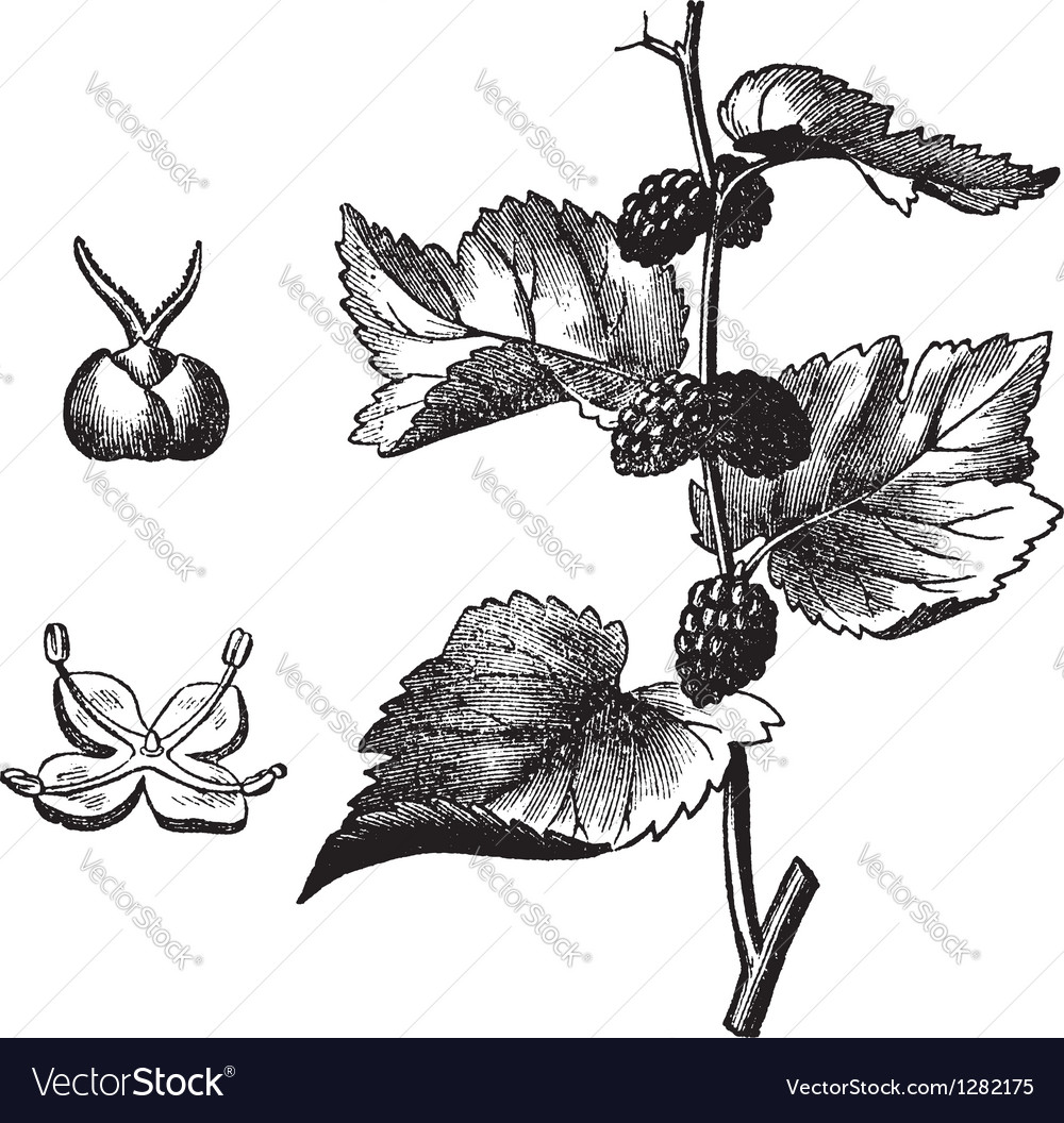 Black mulberry vintage engraving vector | Price: 1 Credit (USD $1)