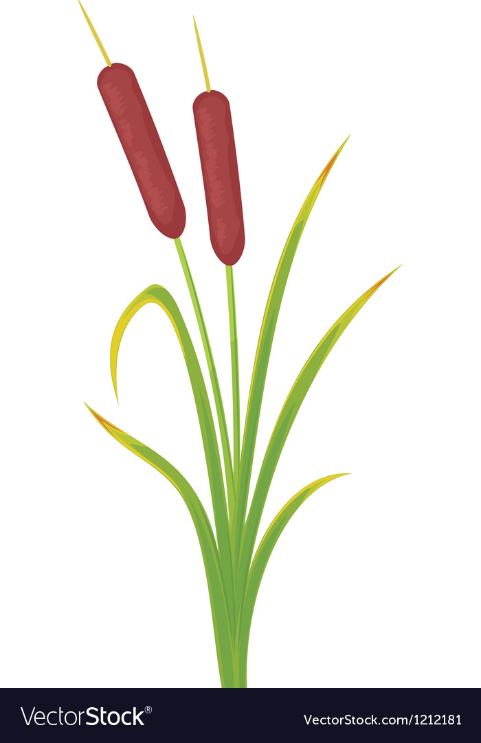 Reed bullrushes and grass vector | Price: 1 Credit (USD $1)