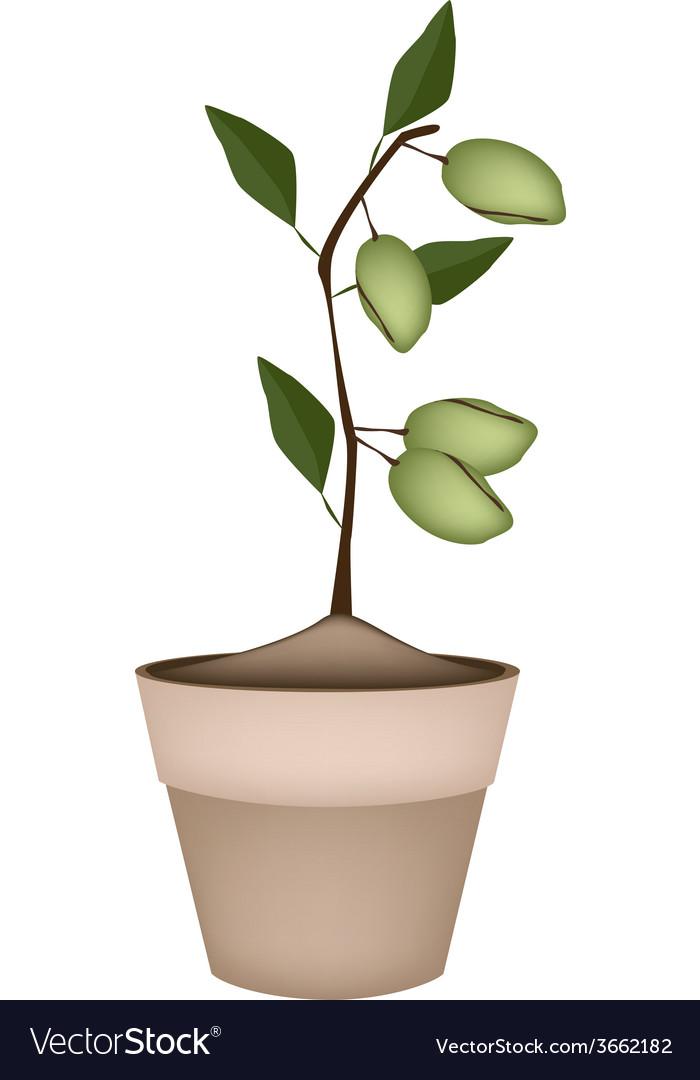 Unripe almonds on tree in ceramic flower pots vector | Price: 1 Credit (USD $1)