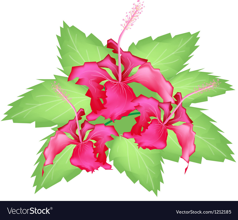 A group of fresh red hibiscus flowers vector | Price: 1 Credit (USD $1)