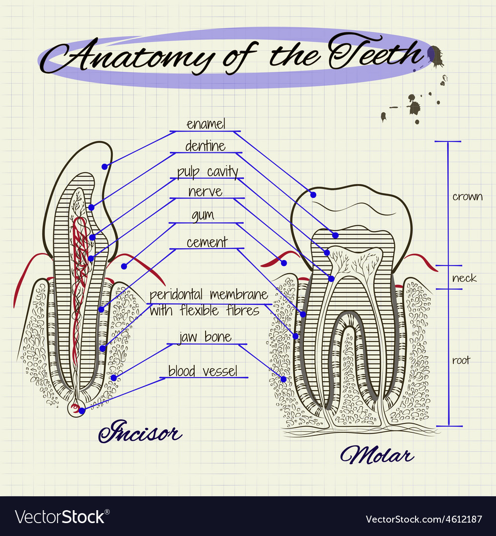 Structure of human tooth vector | Price: 1 Credit (USD $1)