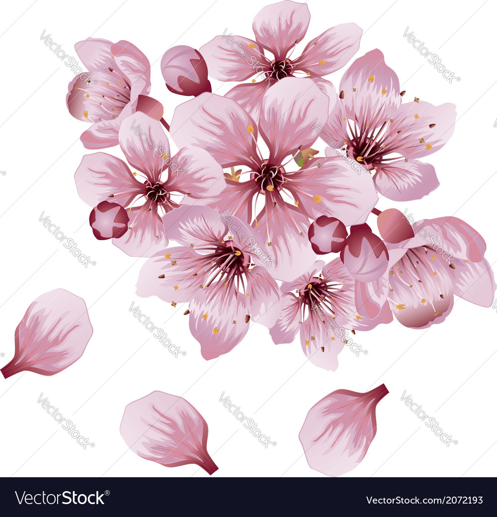 Soft pink sakura flowers vector | Price: 1 Credit (USD $1)