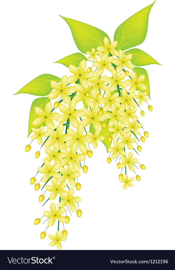 Cassia fistula flower isolated on white background vector | Price: 1 Credit (USD $1)