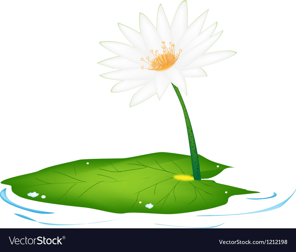 Beautiful fresh white lotus flowers and leaf vector | Price: 1 Credit (USD $1)