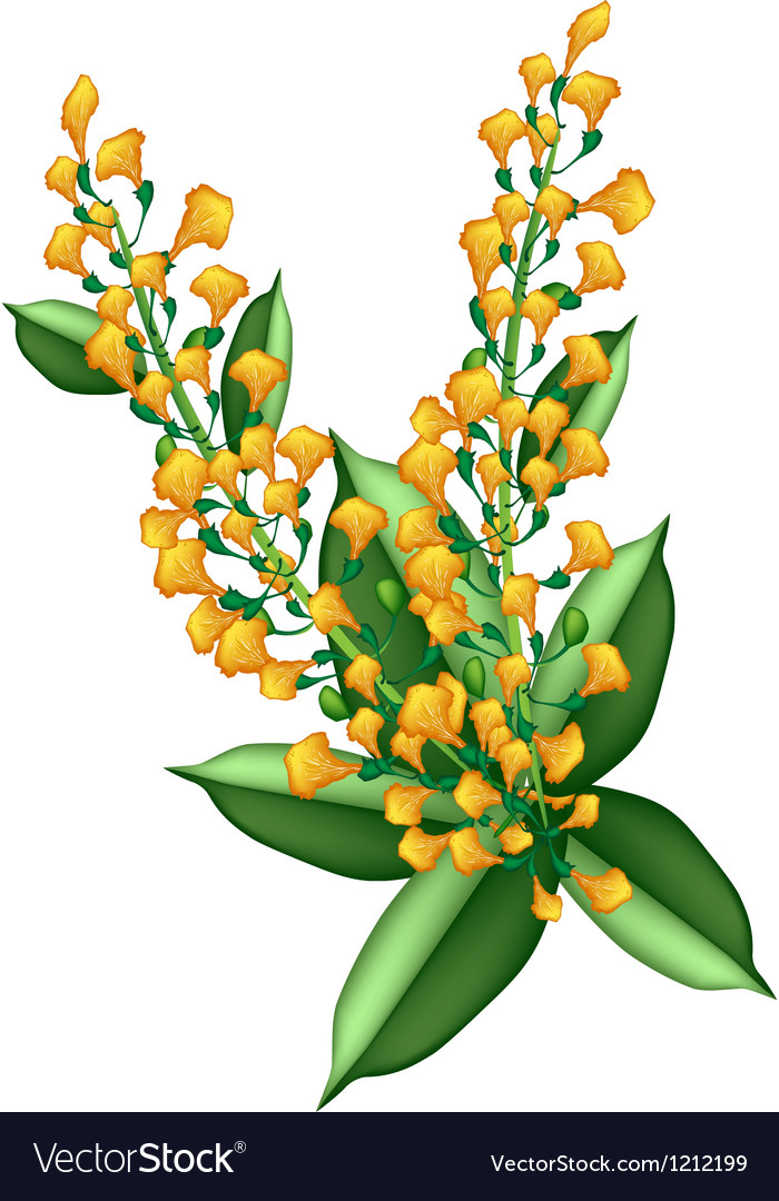 Yellow padauk flower isolated on white background vector | Price: 1 Credit (USD $1)