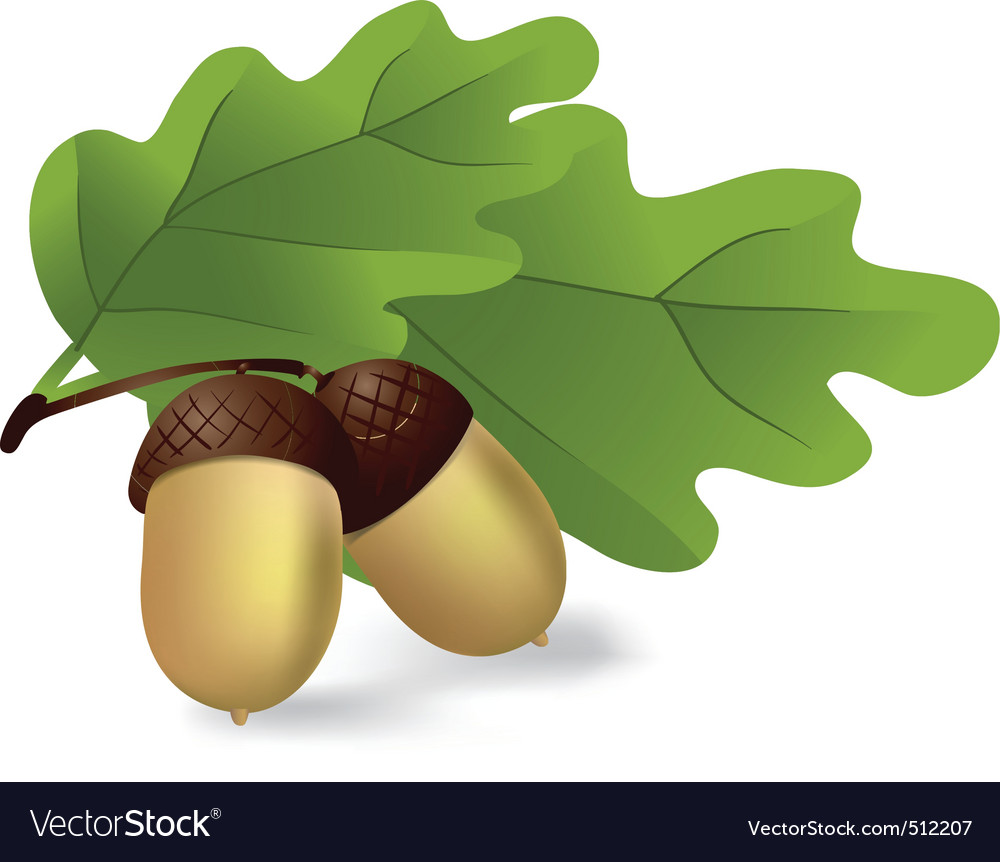 Acorns vector | Price: 1 Credit (USD $1)