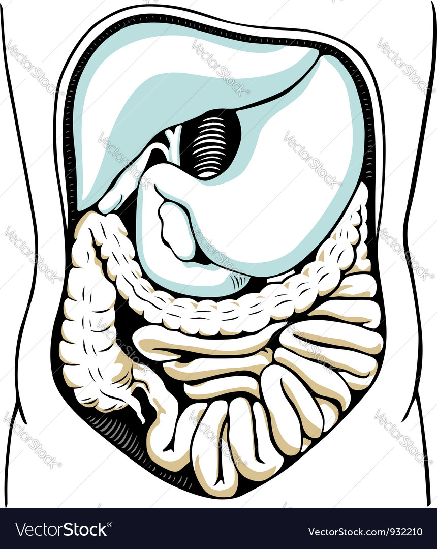 Internal digestive system vector | Price: 1 Credit (USD $1)