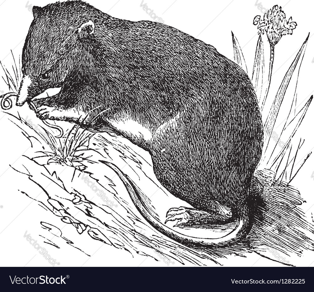 Common shrew vintage engraving vector | Price: 1 Credit (USD $1)