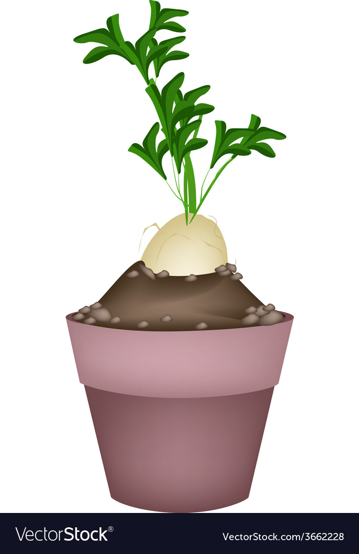 Fresh daikon radish in ceramic flower pots vector | Price: 1 Credit (USD $1)